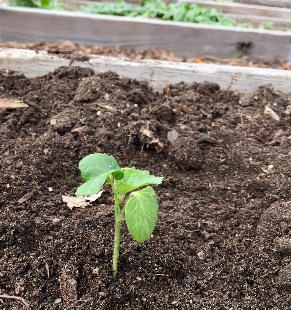 A tiny okra plant